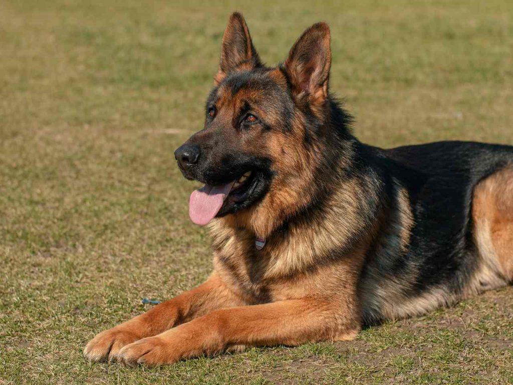 Idade de cachorro -Como entender a idade do seu cachorro correspondente aos humanos
